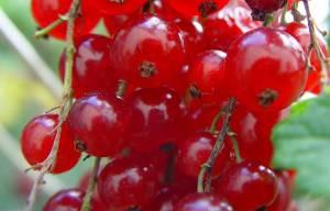 Frutos rojos_Ciaga_300